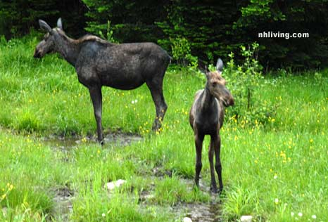 Two Moose in Pittsburg New Hampshire