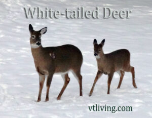 New England Wildlife Photography - White tailed Deer
