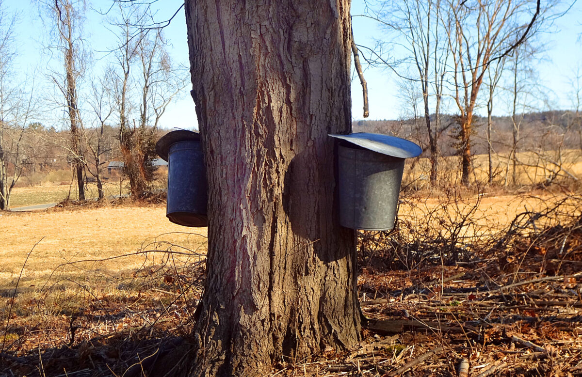 Maple Producers Gathering Maple Sap to produce Real Maple Syrup
