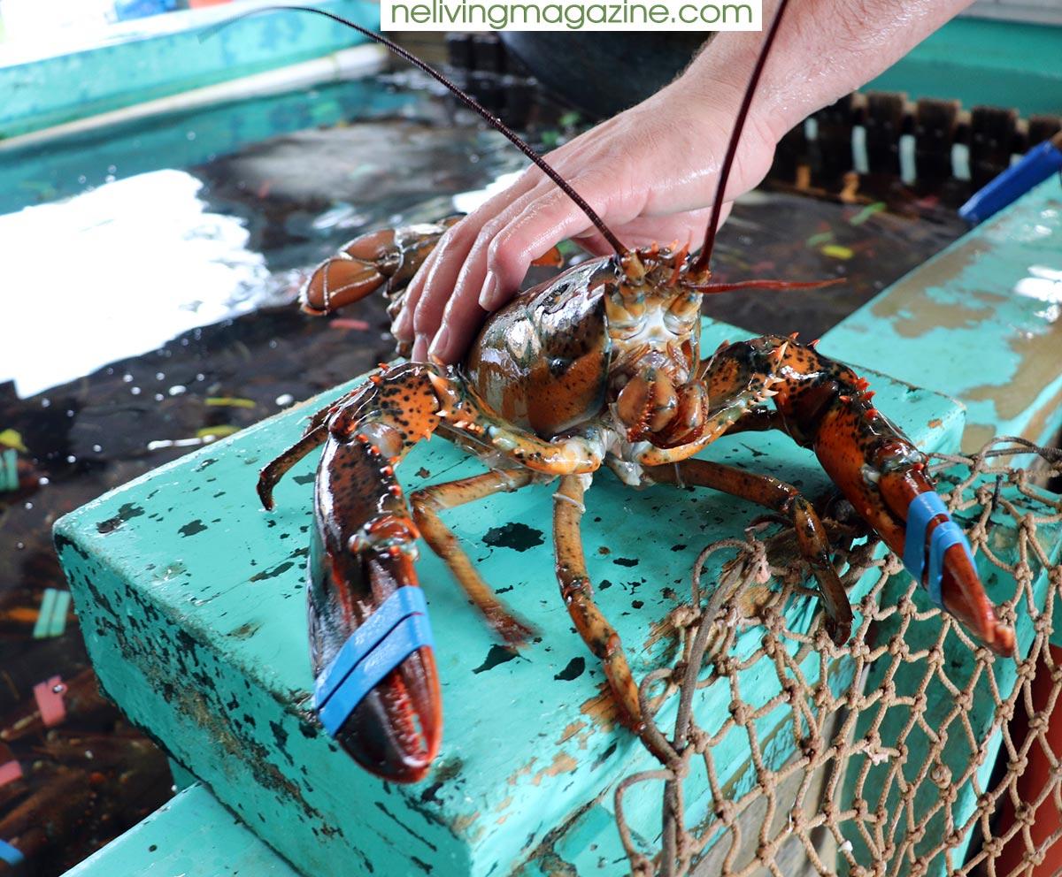 Handpicked Lobster from Ogunquit Lobster Pound